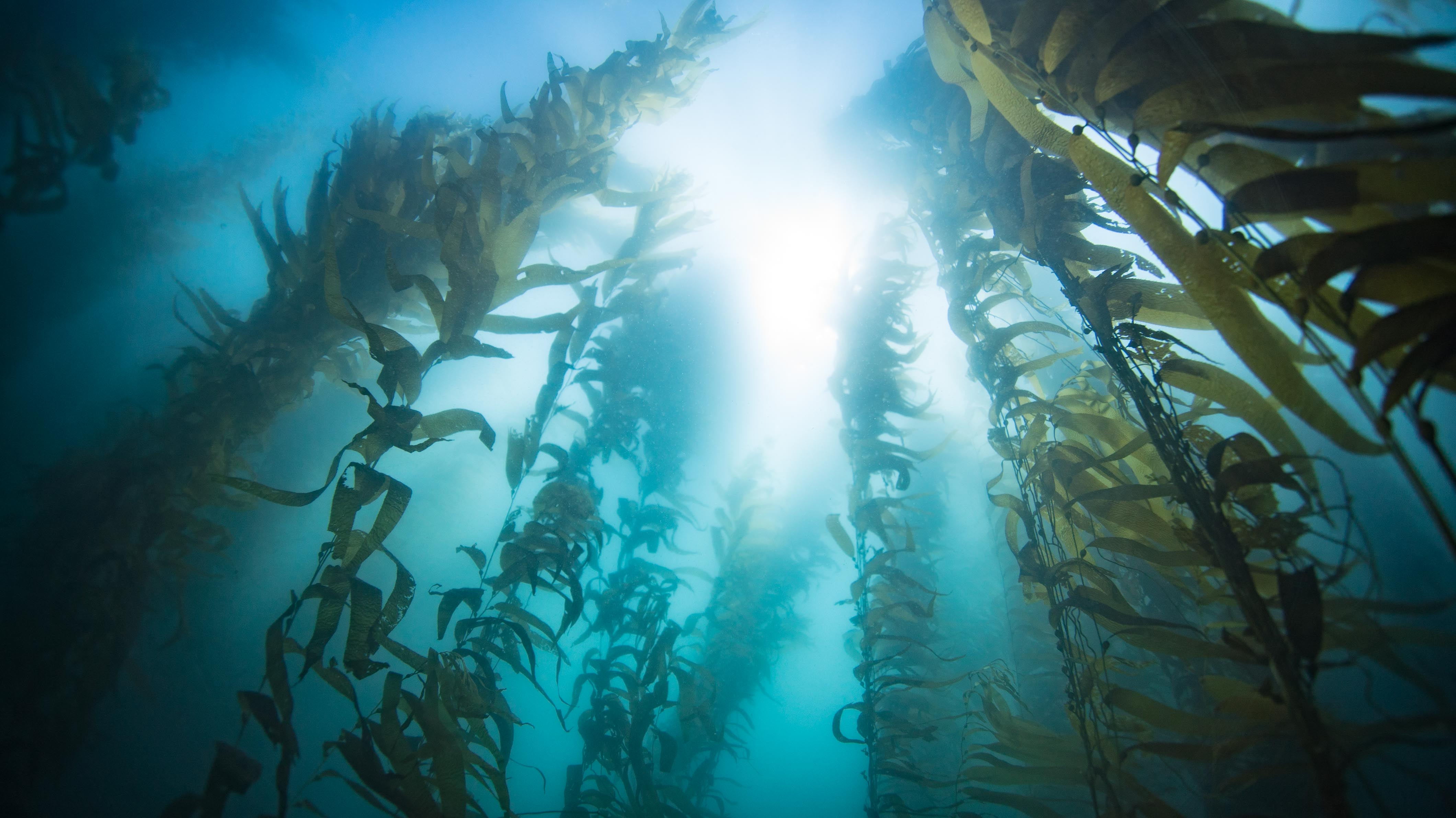 kelp forest from below