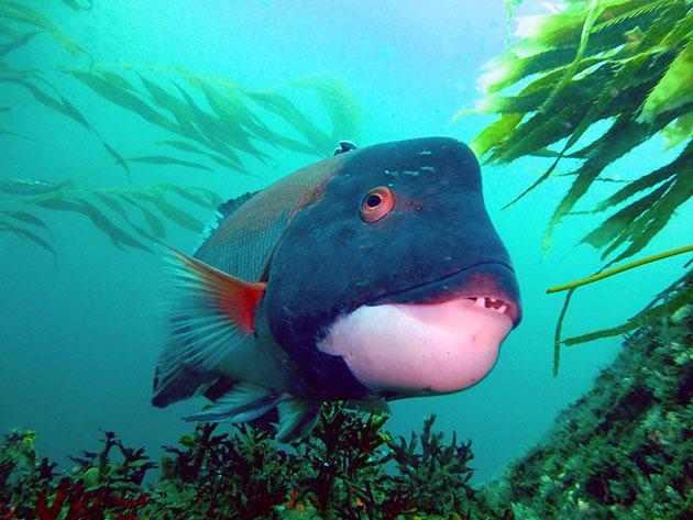 swimming California sheephead