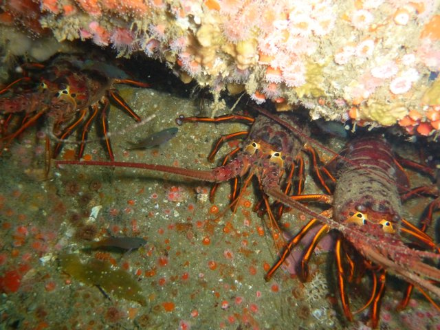 California spiny lobster in a rock crevice. Photo: Kristin Riser, SIO