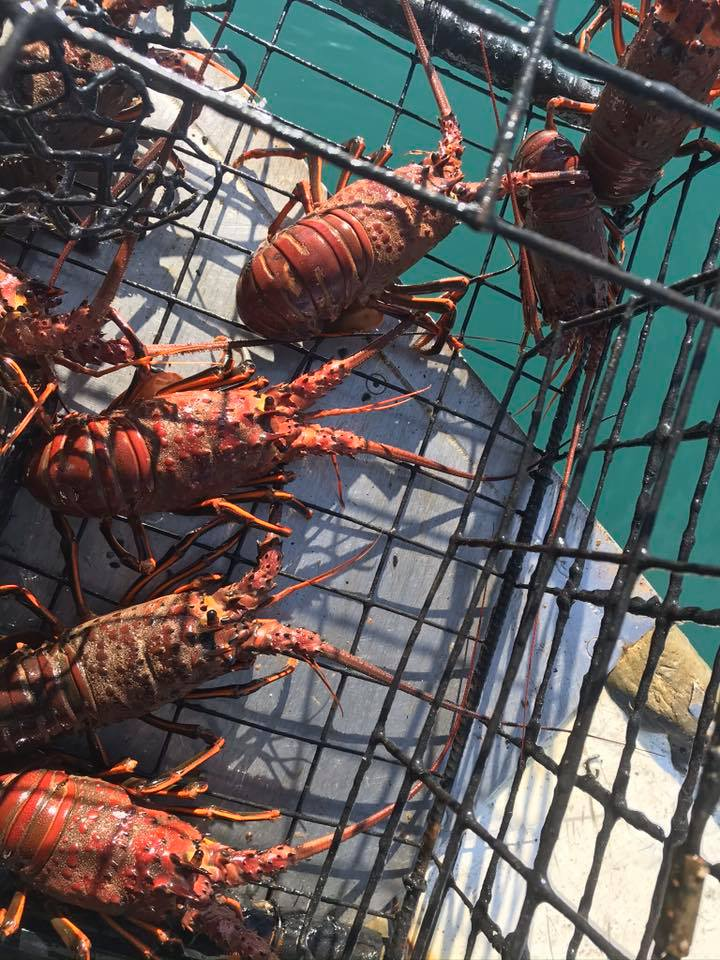 lobsters in a trap