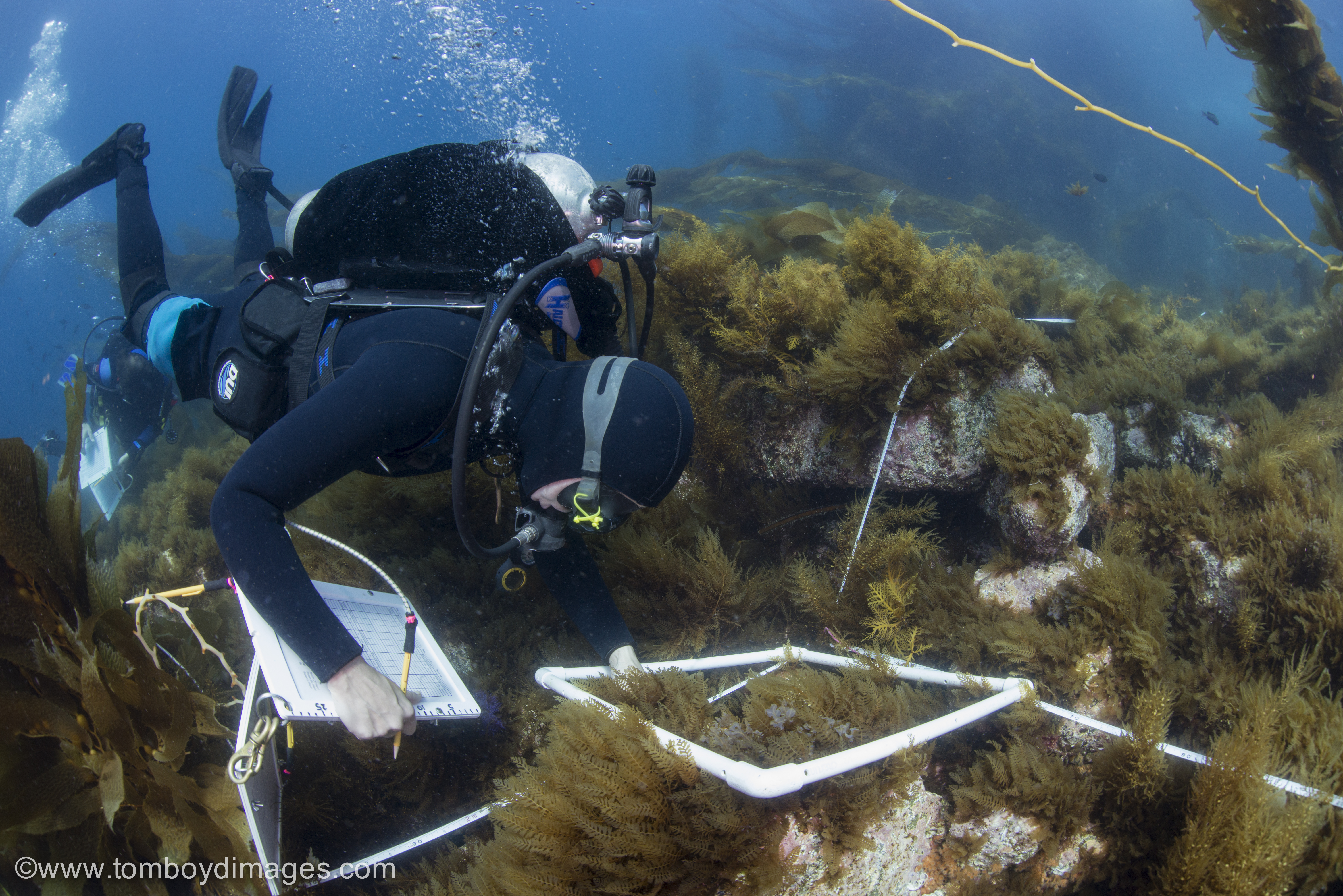 scuba diver measures seaweed diversity in a square quadrat