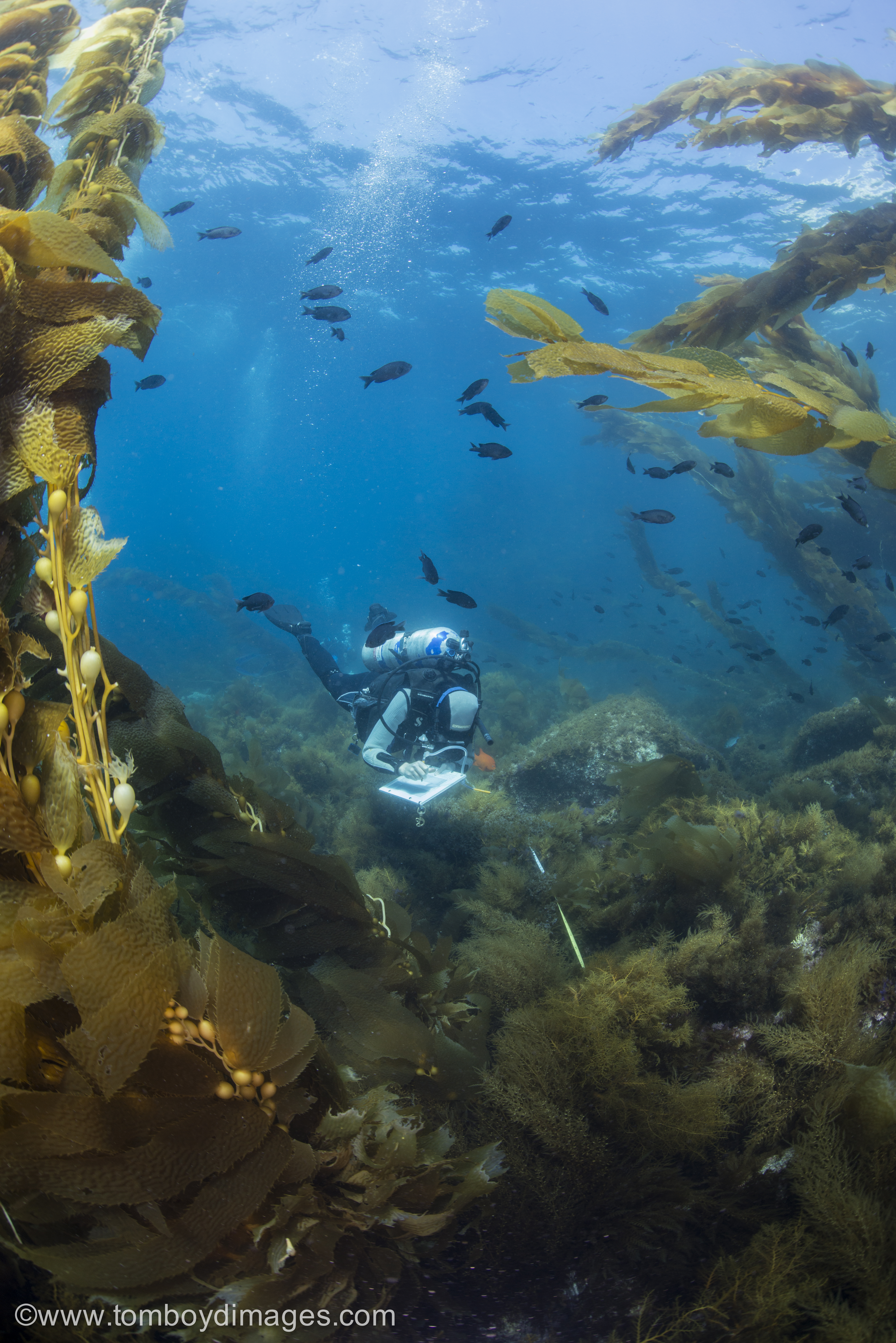 scuba diver collecting data surrounded by fish and kelp on a rocky reef