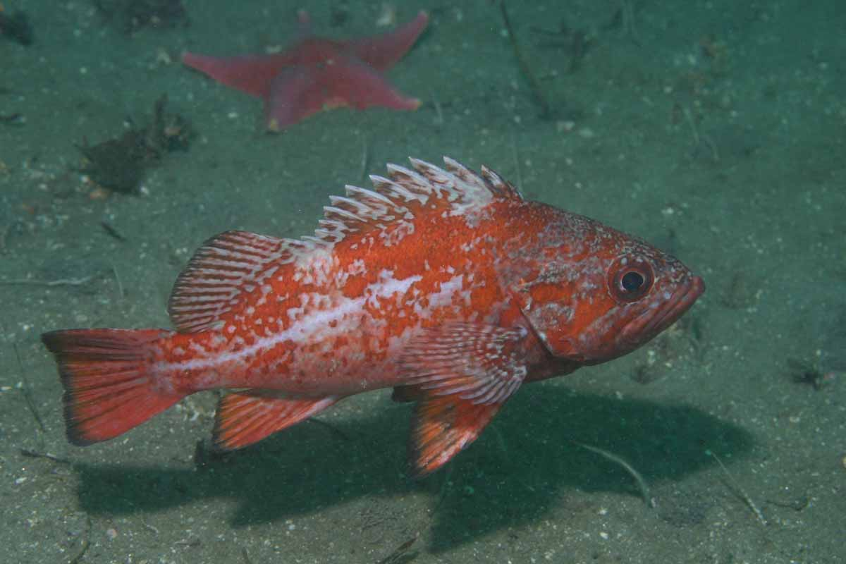 vermillion rockfish swimming above substrate, sea star in background