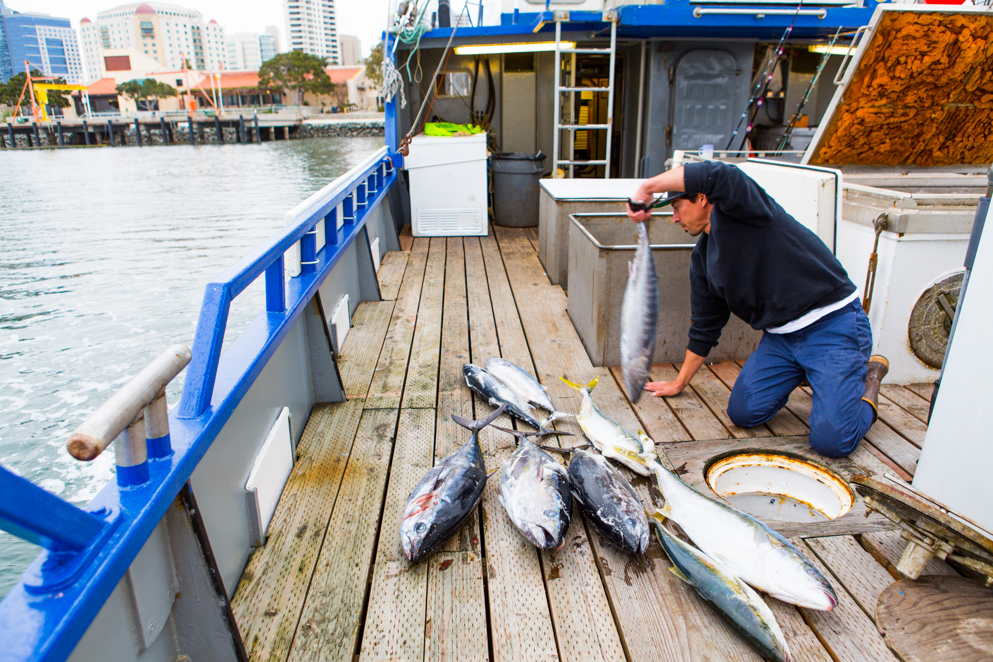 fisherman sorts yellowtail catch on boat