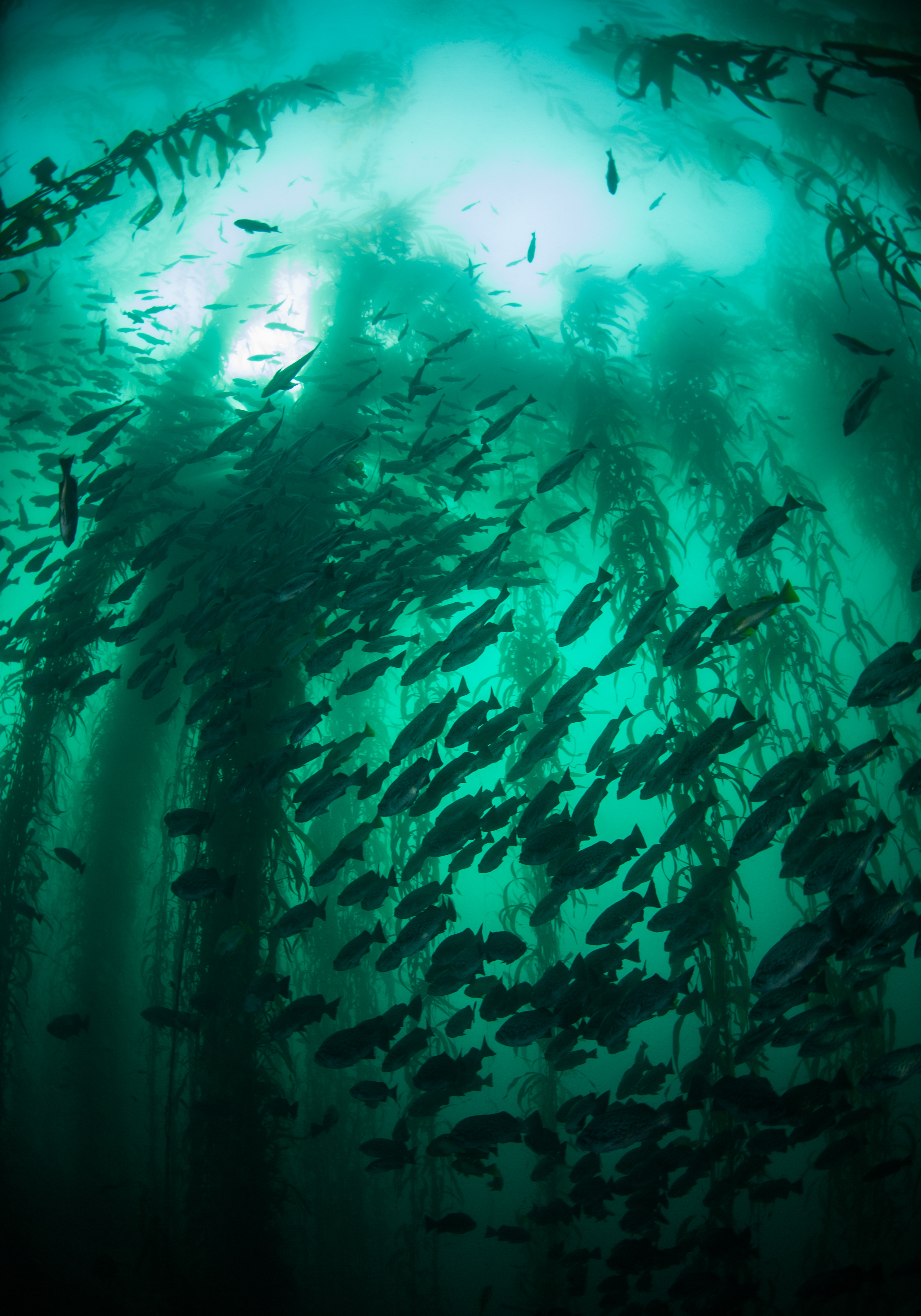 Kelp forest. Photo Credit: Michael Langhans