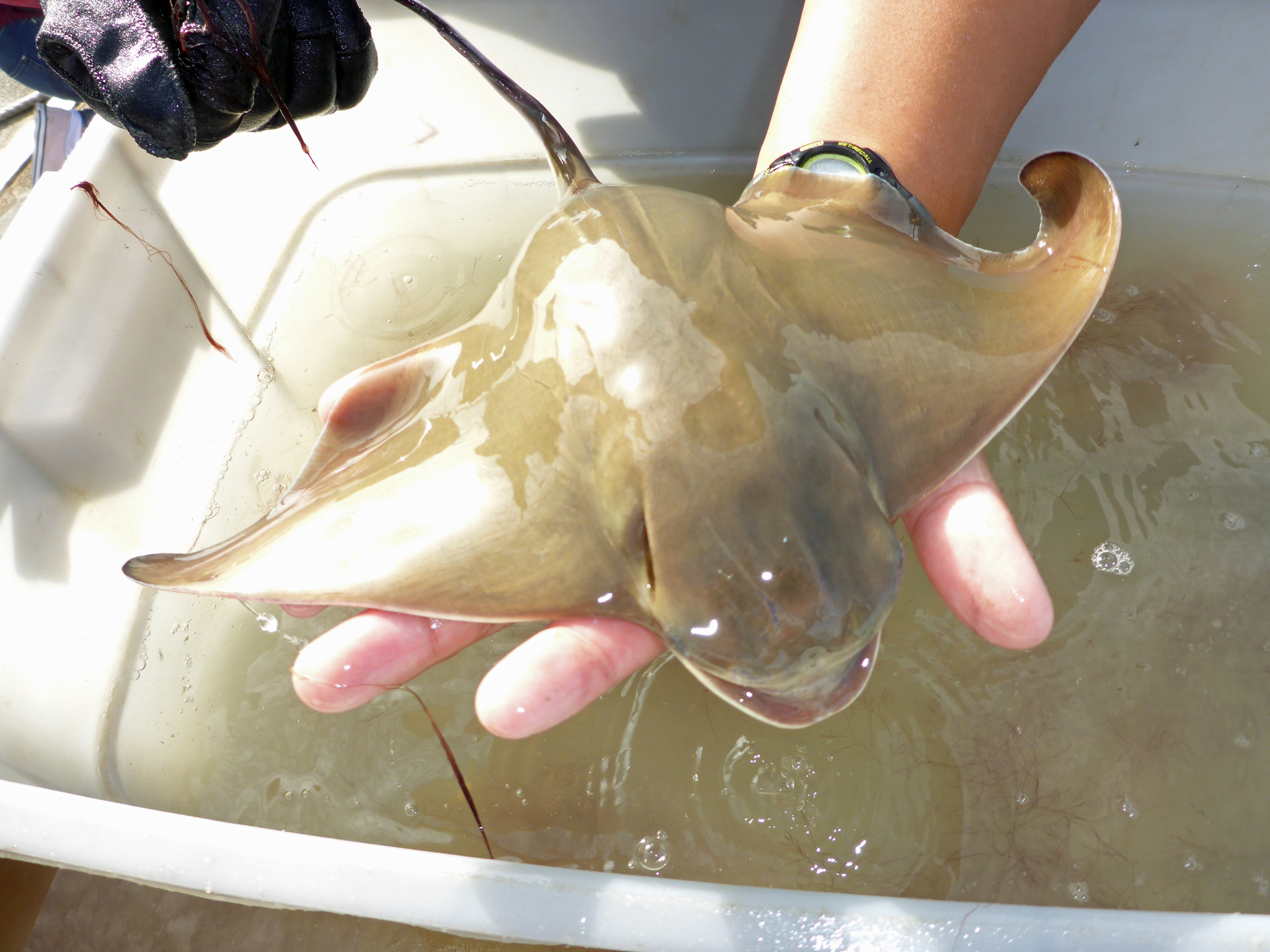 small bat ray resting on a person's hand