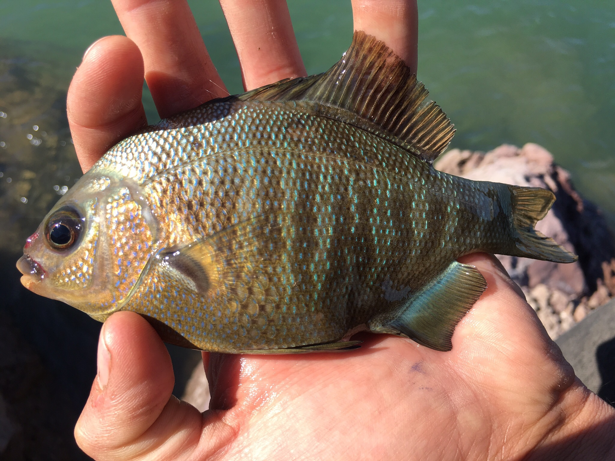 black surf perch