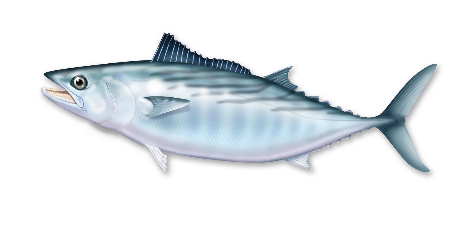 drawing of Pacific Bonito