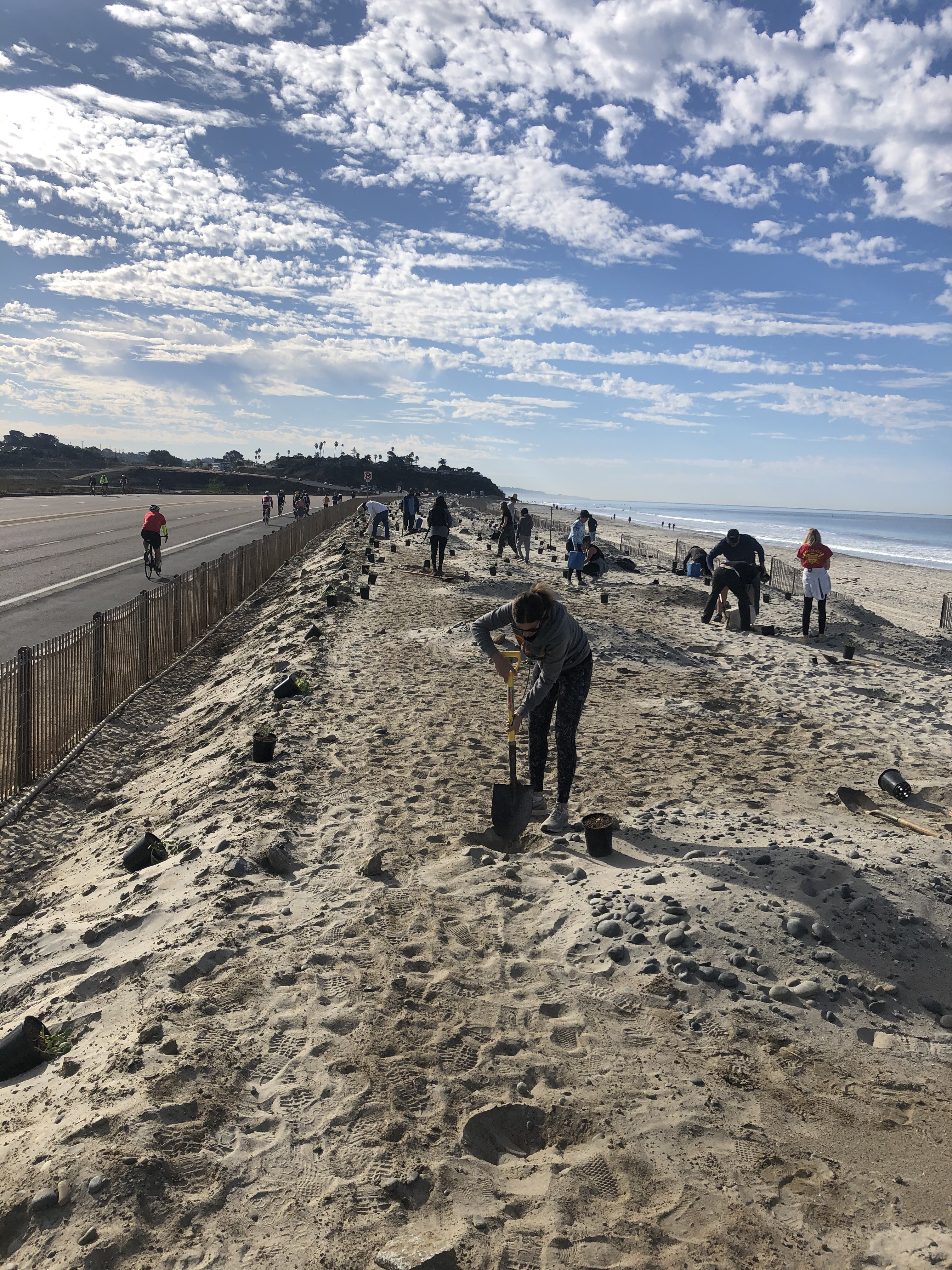 cardiff state beach, workers plant grasses on dunes
