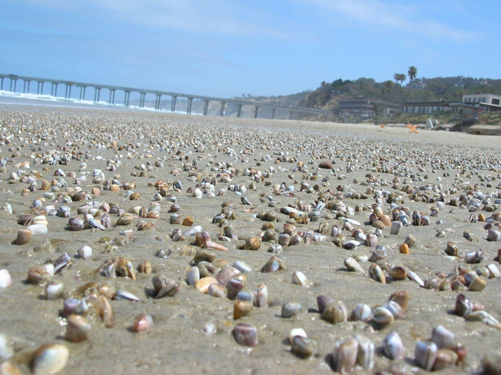 Clams in La Jolla. Credit: Dave Hubbard