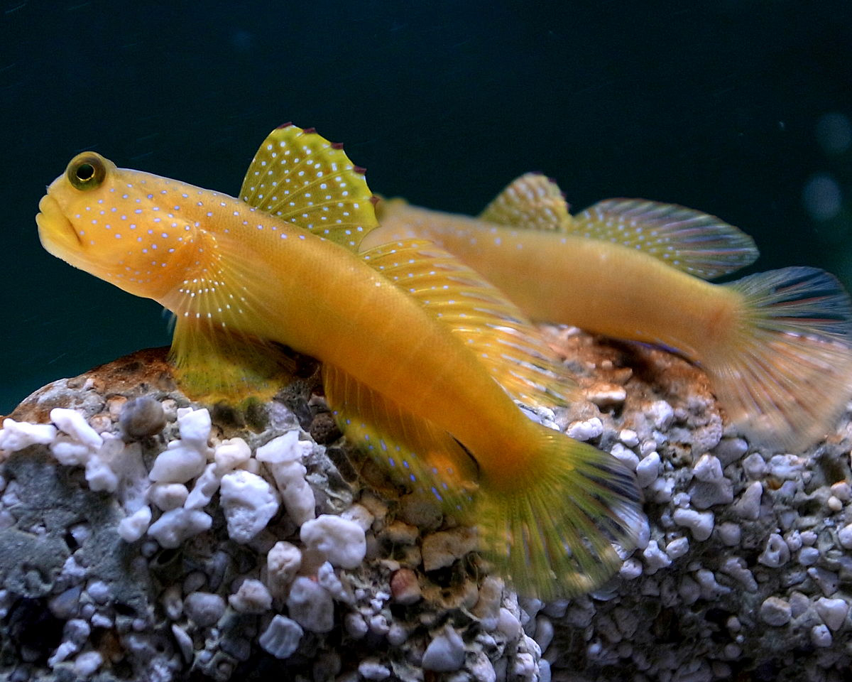 The Watchman Goby fish is less difficult to maintain, and a good option for beginning saltwater hobbyists.