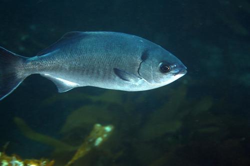 halfmoon fish