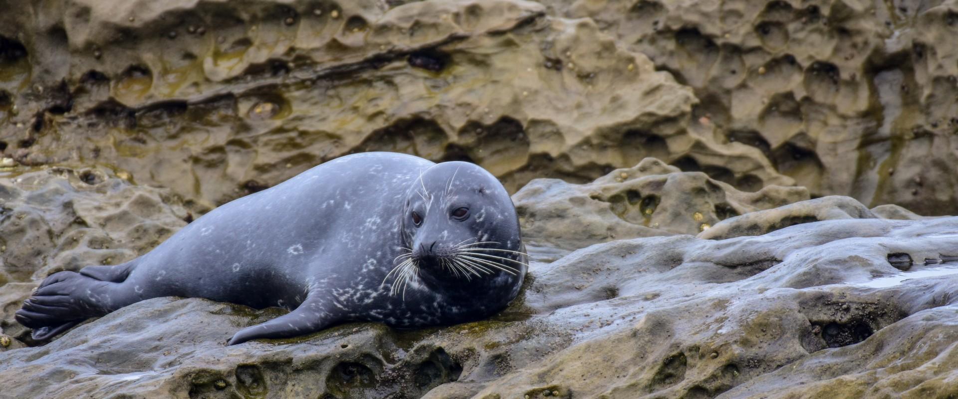 Harborb seal laying on rocks