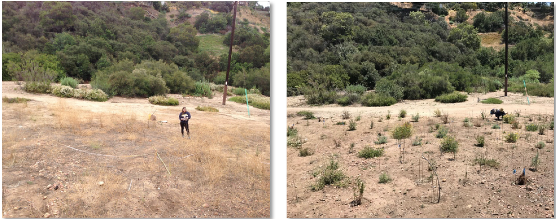 Manzanita Canyon restoration plot before planting in May 2016 (left), and six months after planting in May 2018 (right).