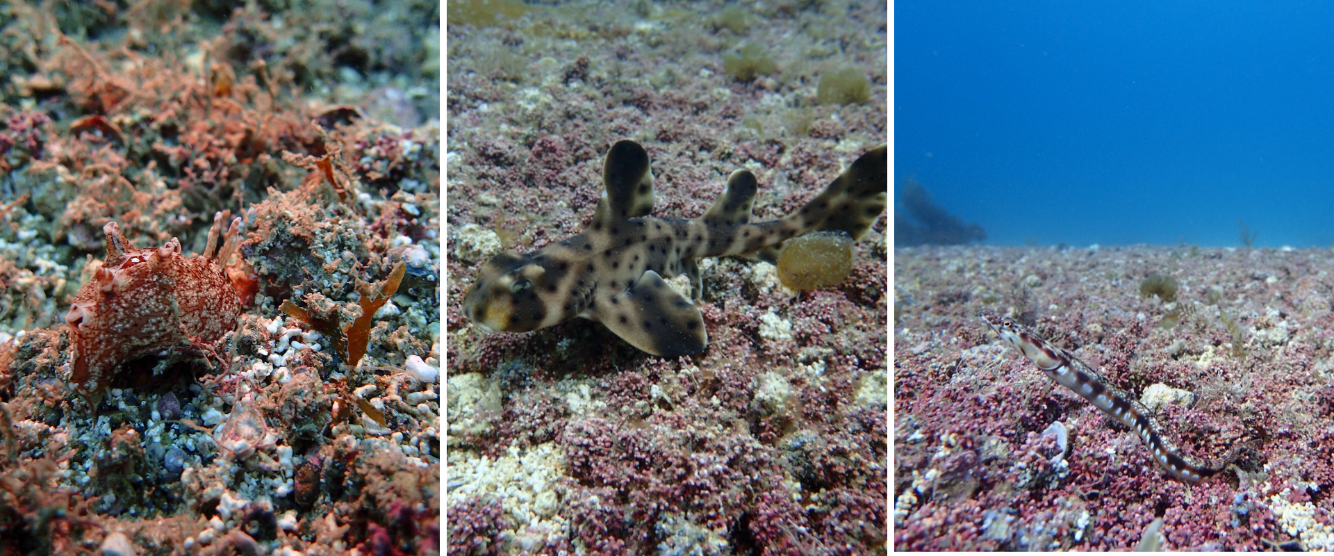 three photos of organisms found in rhodolith beds, a sea slug, a juvenile horn shark, and a small, skinny fish
