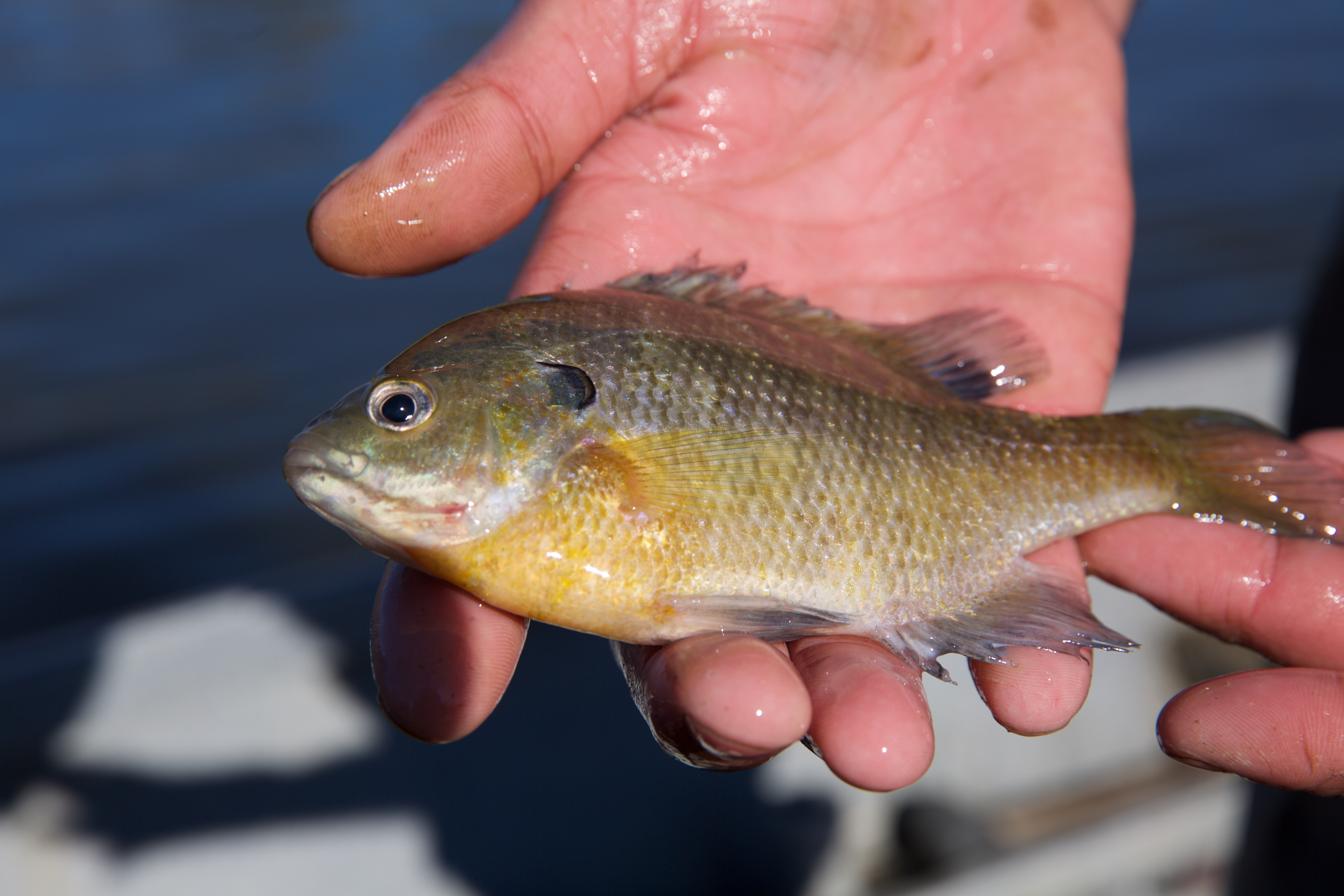 bluegill fish in a hand