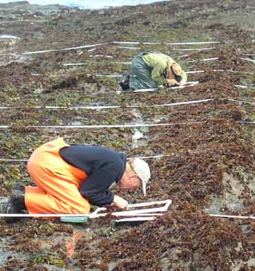 Scientists count organisms within the white rectangles along set transects (the white lines). It is tedious, back-breaking work but the end result is a scientifically defensible data set. Photo: P. Raimondi/UCSC