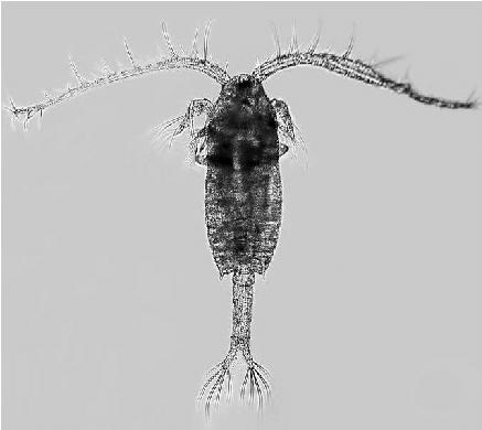male copepod