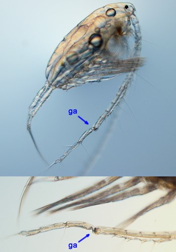 Two images of male copepod antennas