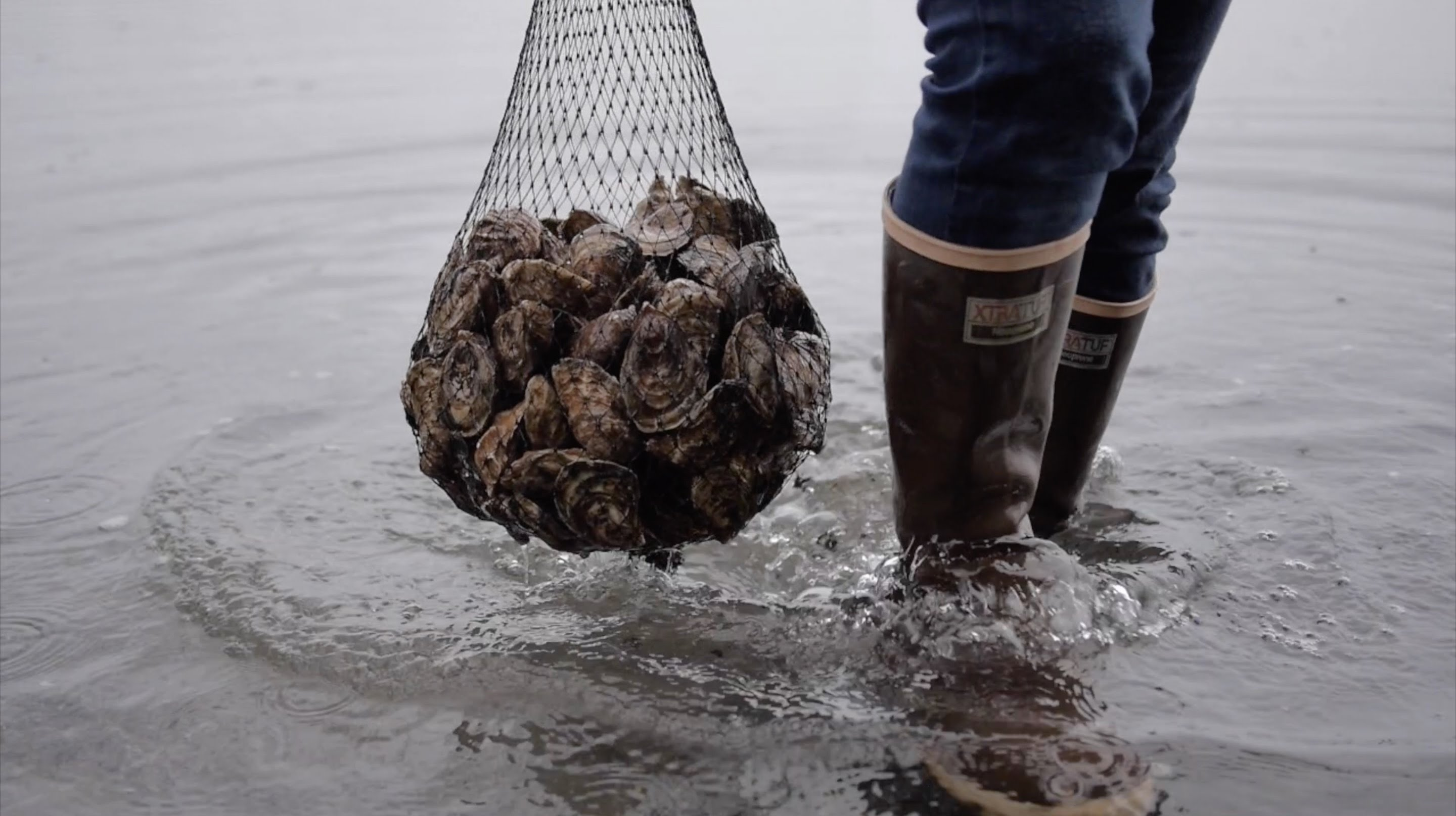 olympia_oyster_fishing