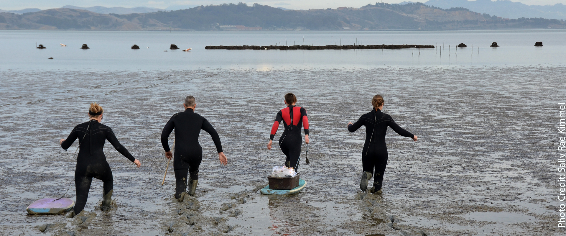 researchers  seed eelgrass to restore a wetland in san francisco bay