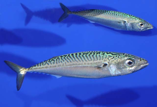 School of Pacific Mackerel