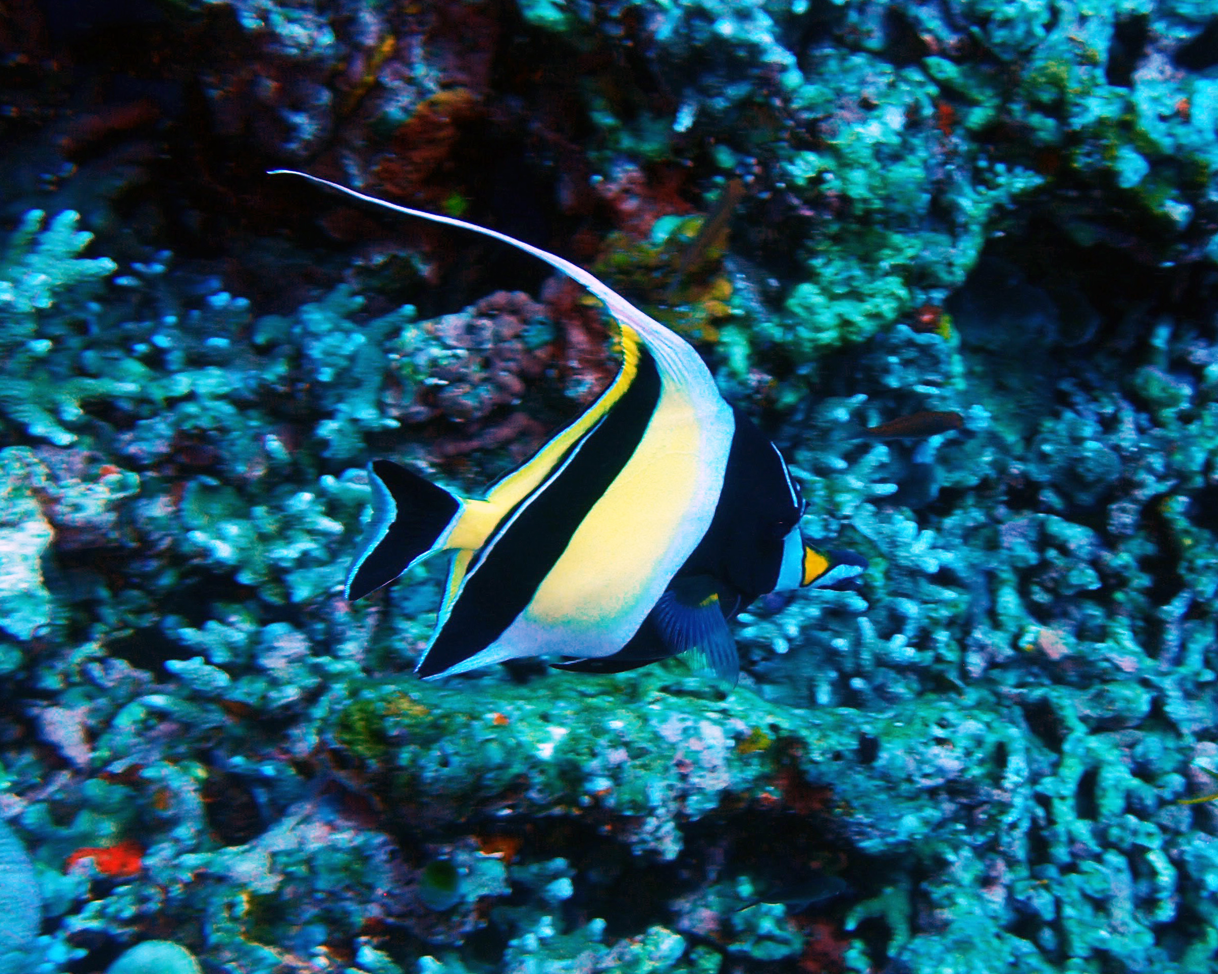 The moorish idol requires expert care and is not recommended for beginner aquariums.