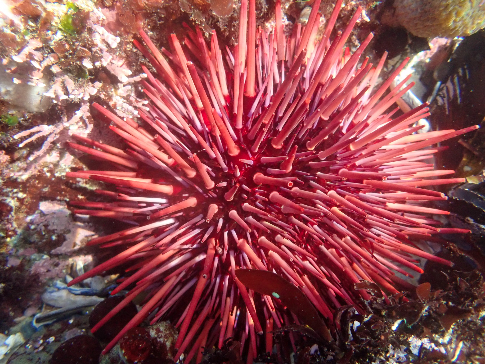red sea urchin amongst substrate