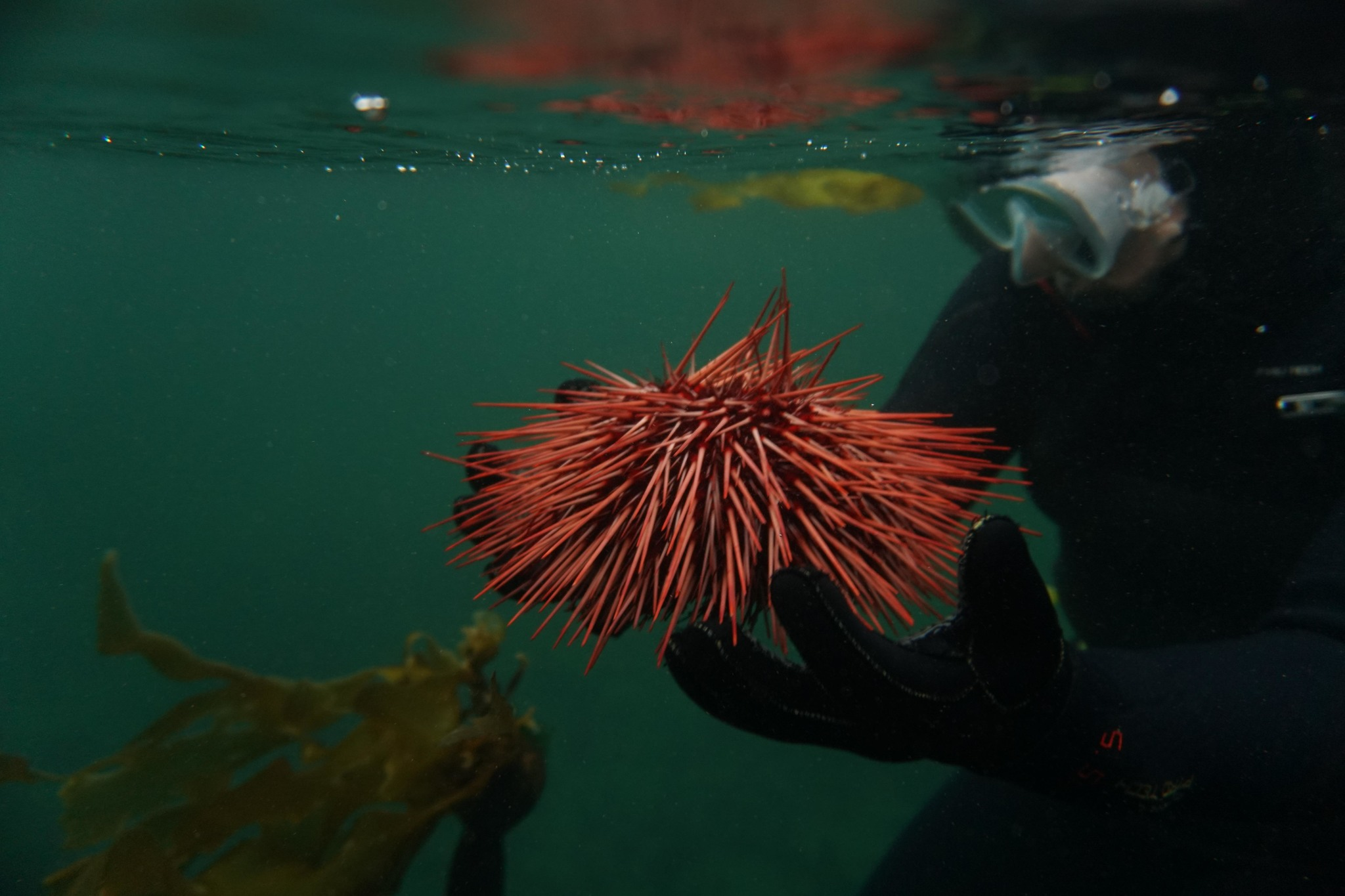 red sea urchin held underwater by a scuba diver, a kelp piece floats in the background