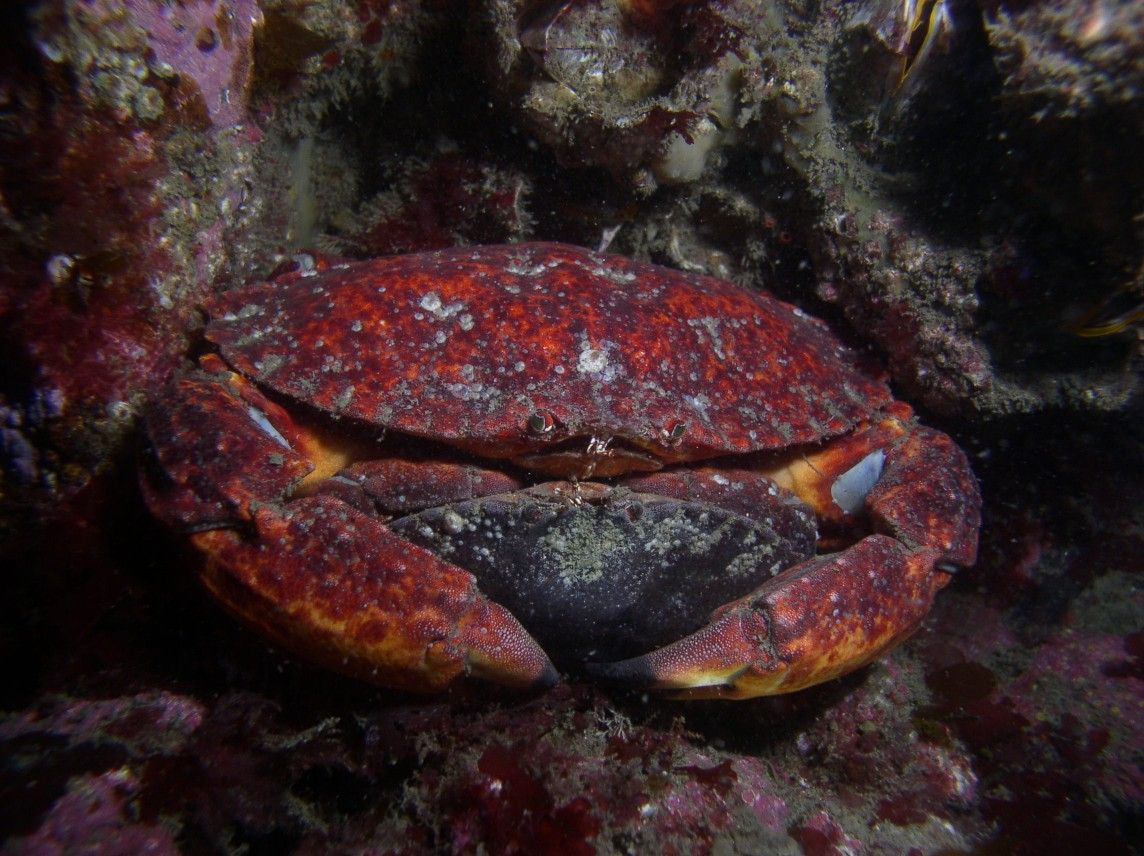 Red rock crabs mating amongst substrate