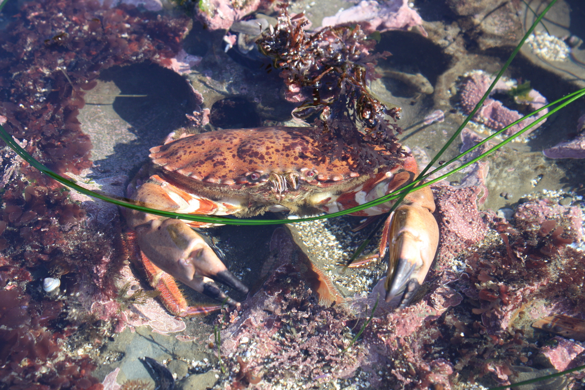 Rock crab hiding amongst substrate