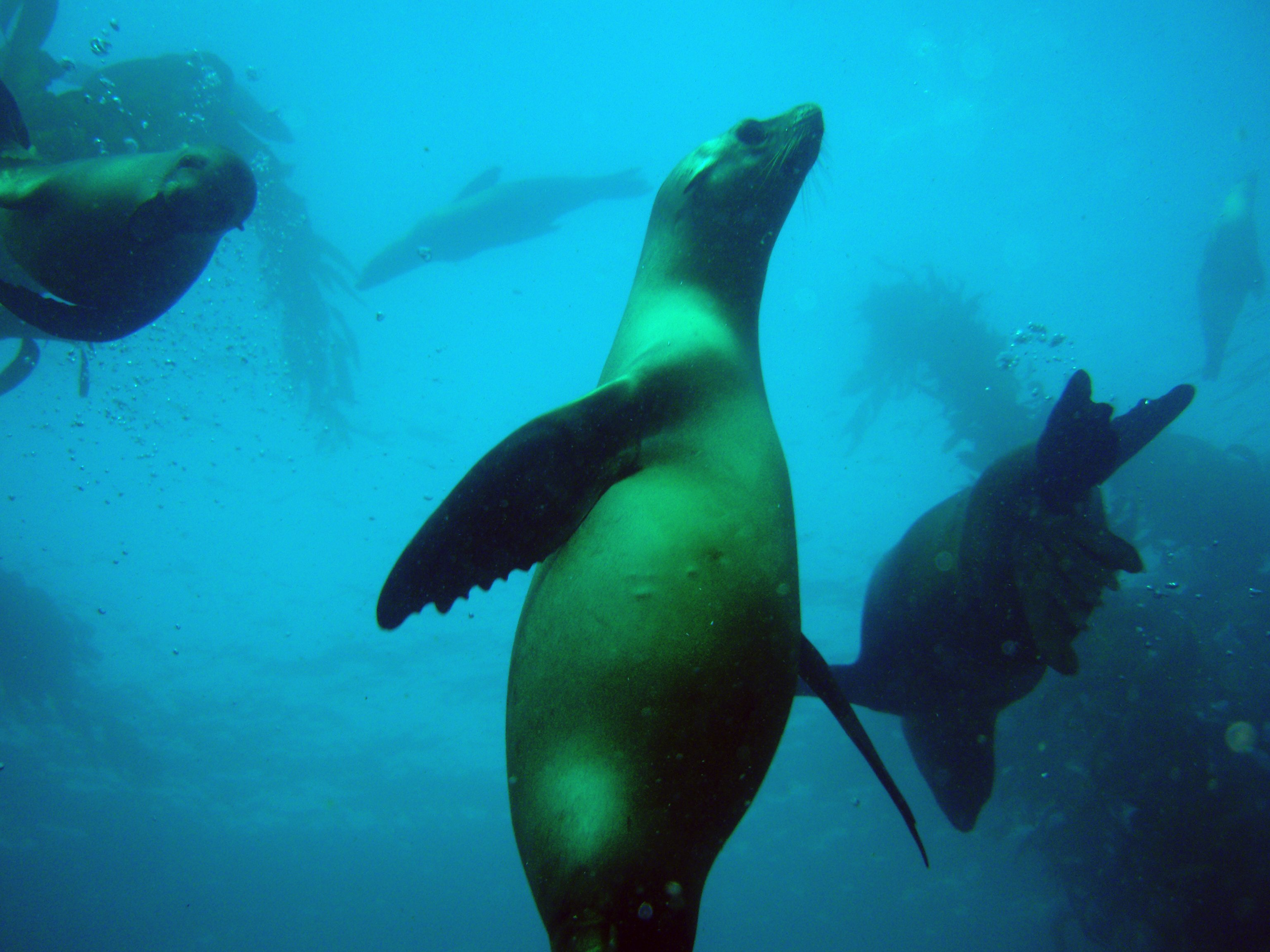 underwater happy playful sea lion