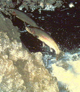 Steelhead migrating upstream