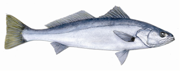 drawing of white seabass