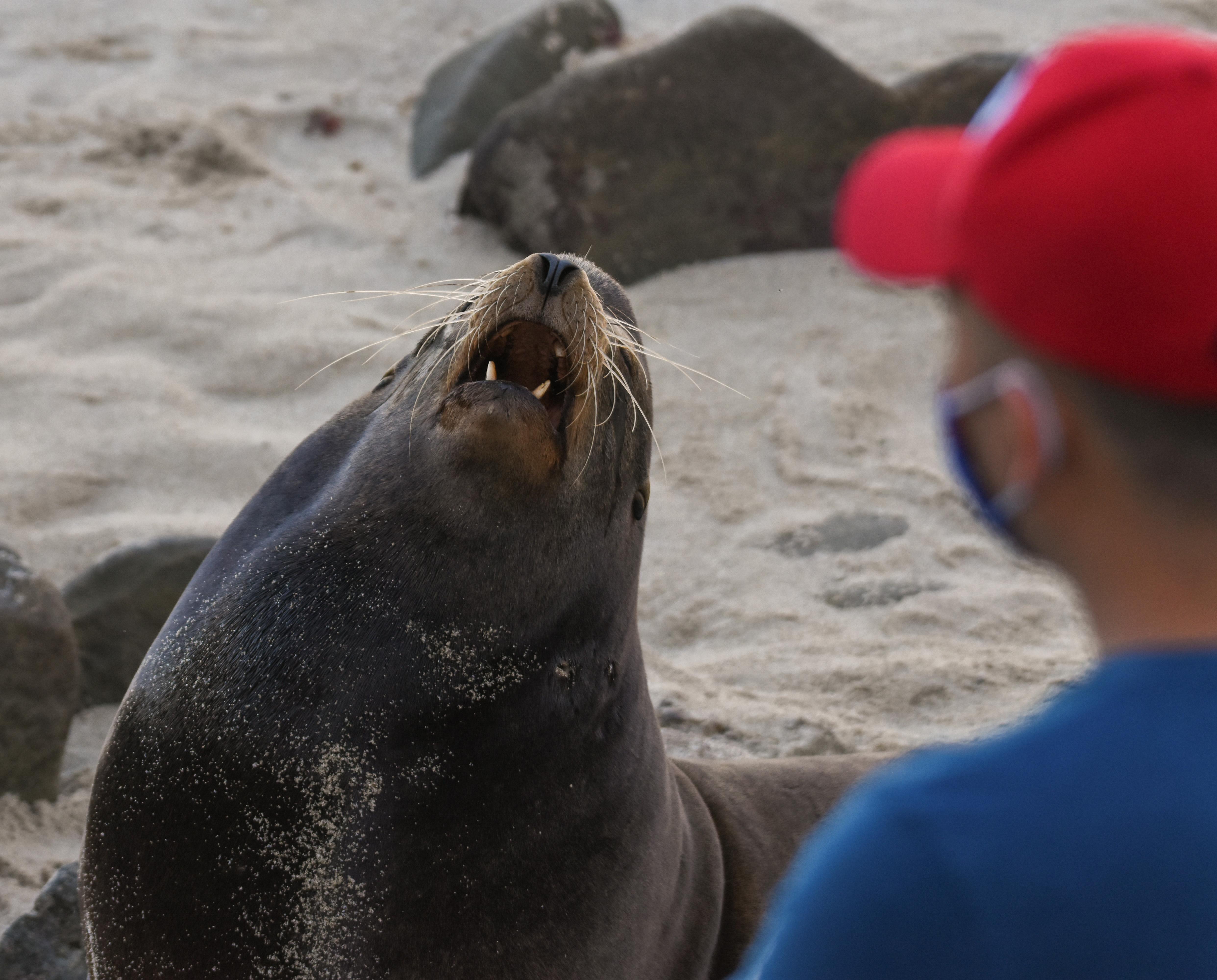 Man looking at California sea lion