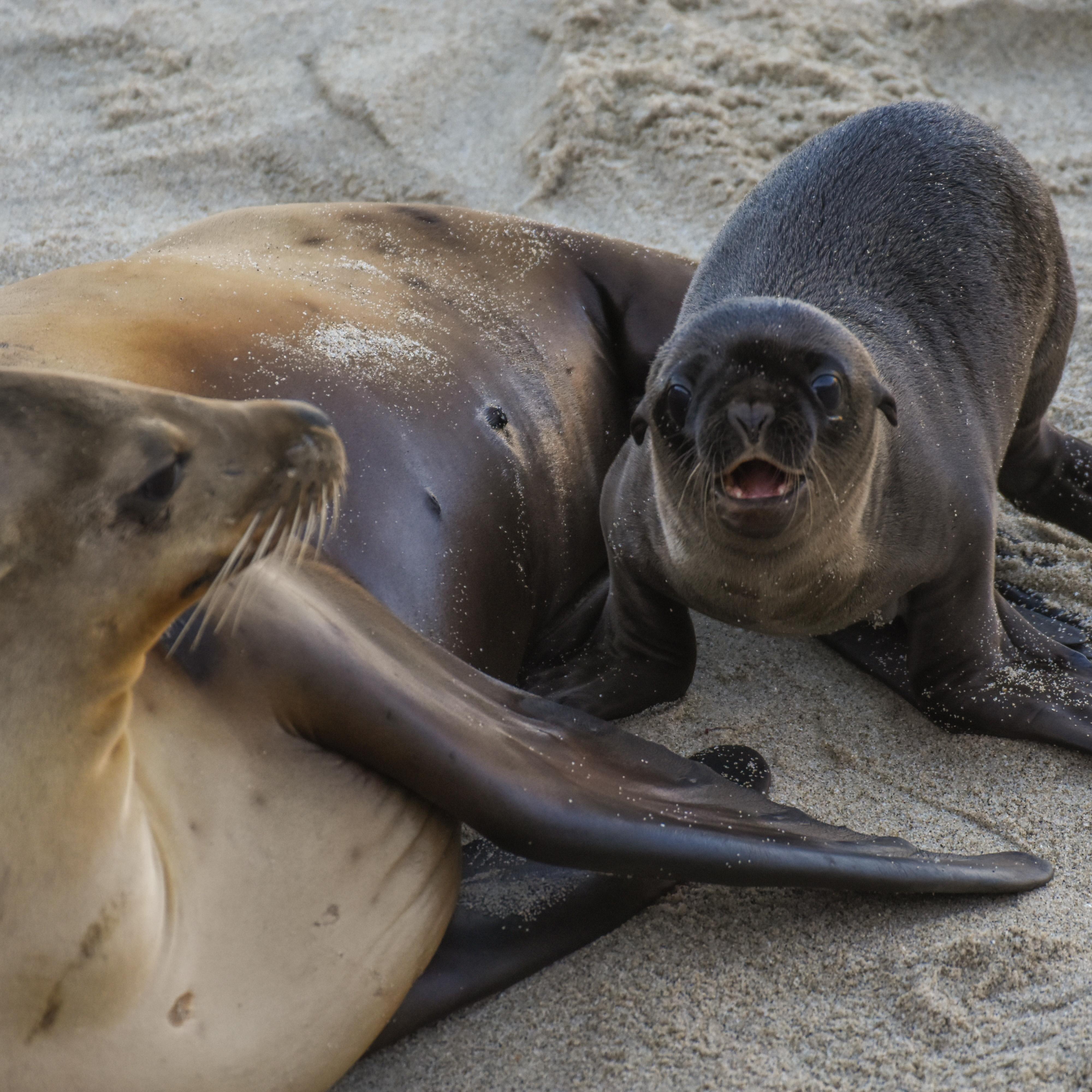 Los cachorros de los leones marinos de California permanecen con sus madres por aproximadamente un año, antes de ser destetados. Foto: Nick DeNezzo
