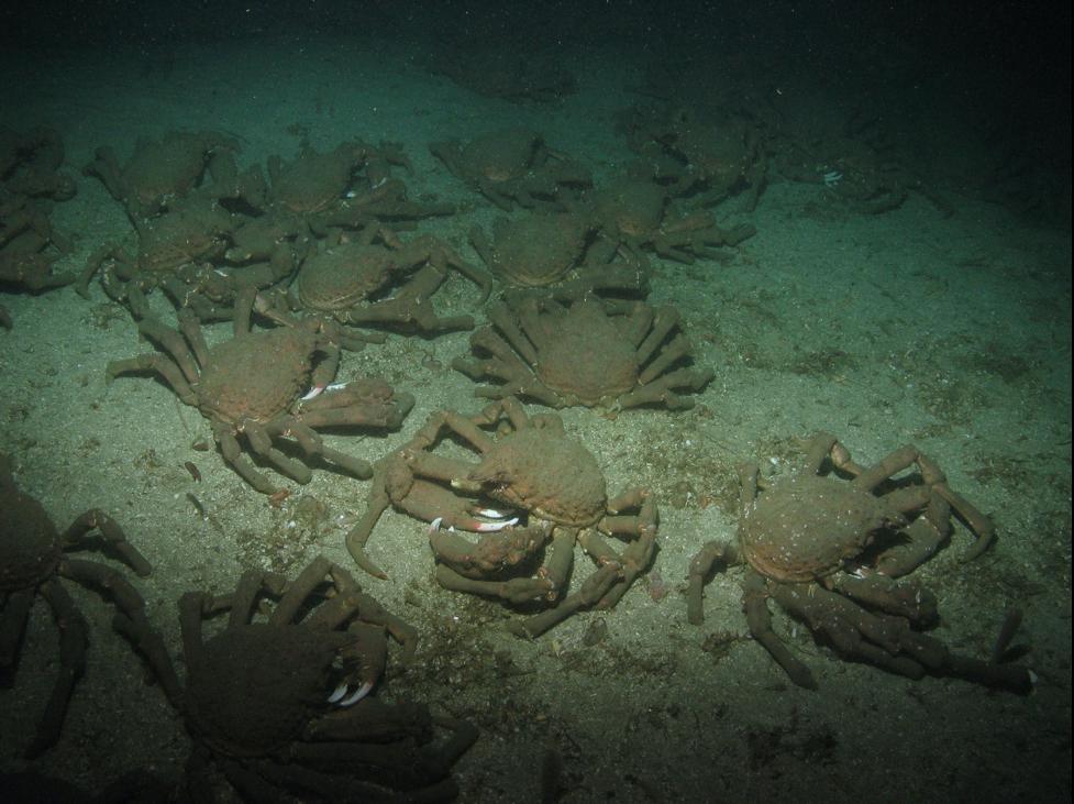 crabs on the ocean floor