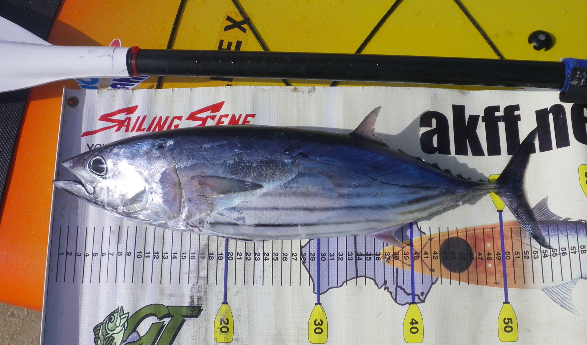 skipjack tuna placed against a backdrop with measurement marks