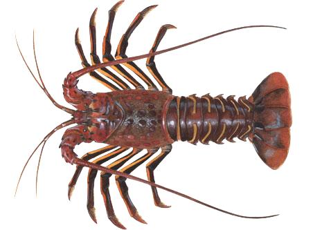 spring_lobster