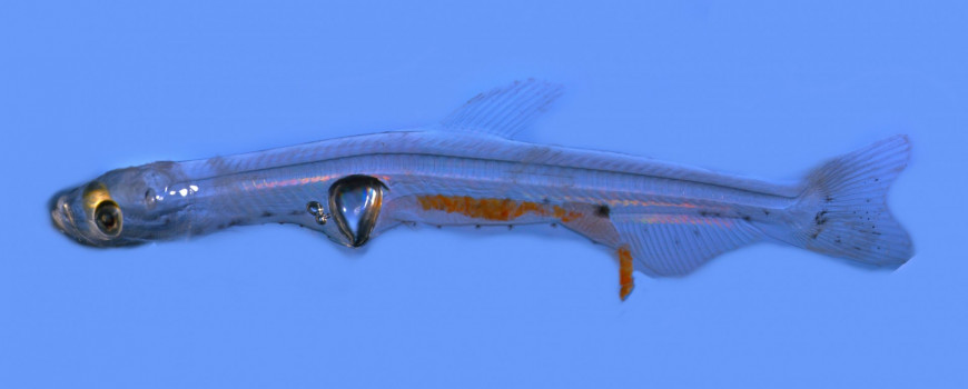 "A high-resolution composite image of a larval Longfin Smelt. Note the otoliths present in the cranial cavity and the presence of the characteristic ""triangular"" swim bladder."