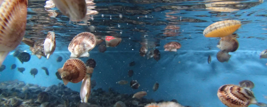 scallops swimming in tank - aquaculture