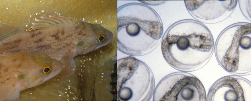 Brown rockfish and white seabass eggs - aquaculture