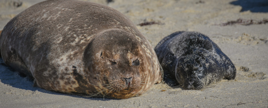 harbor seals snuggle on beach