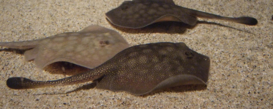 three stingrays on sandy bottom