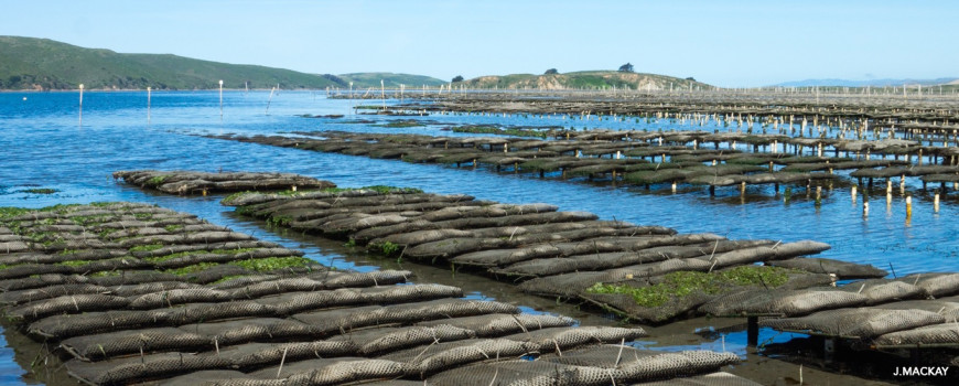 Tomales Bay rack and bag oysters. Image: J. MacKay