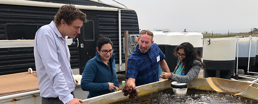 California Sea Grant Extension Specialist Luke Gardner, Extension Director Lisa Schiavinato, Moss Landing Marine Laboratories professor Scott Hamilton, and UC Davis doctoral student Priya Shukla assess tank-grown red ogo seaweed at Moss Landing Marine Laboratories in Moss Landing, CA.