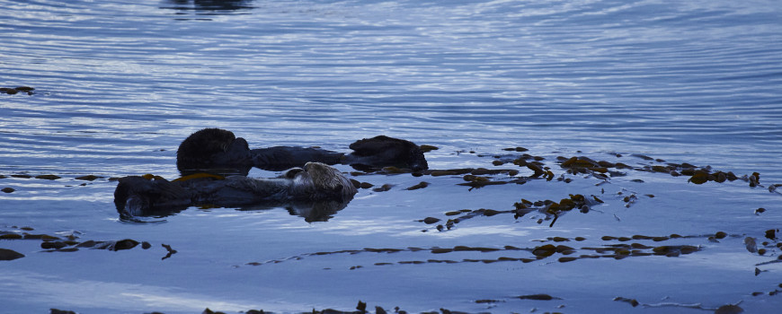 otters in morro bay