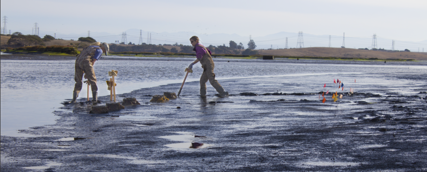 Researchers place oysters in Elkhorn Slough on 23 October, 2018. Photo: Rachell Hester