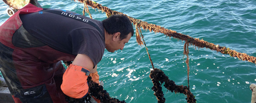 Bernard Friedman of Santa Barbara Mariculture hauls in a line of mussels at his aquaculture farm off the coast of southern California