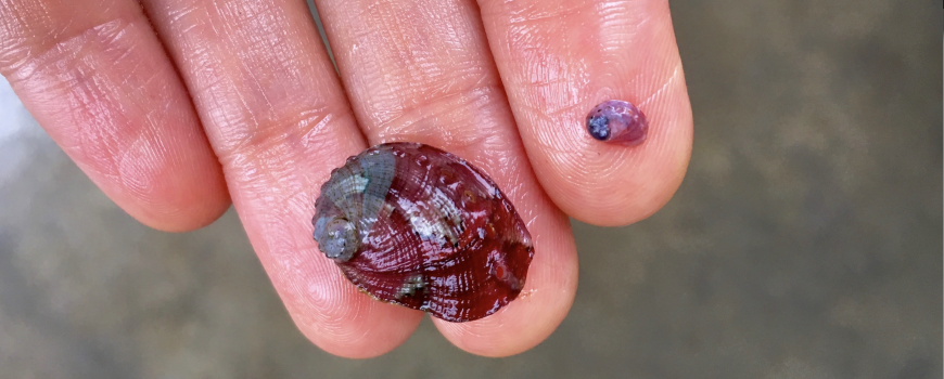 tiny white abalone
